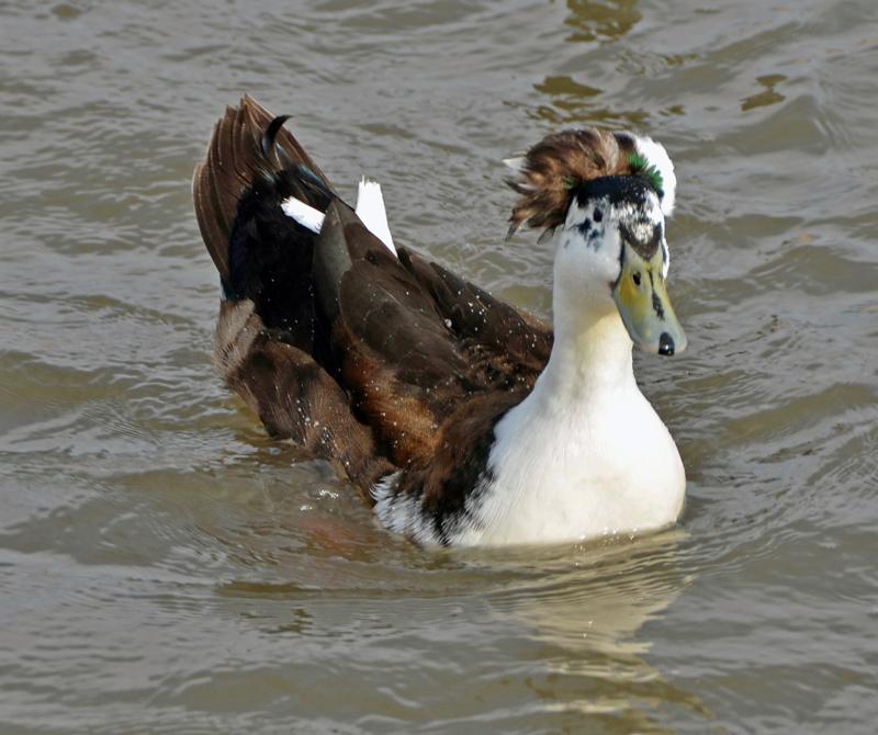 Duck horse hybrid